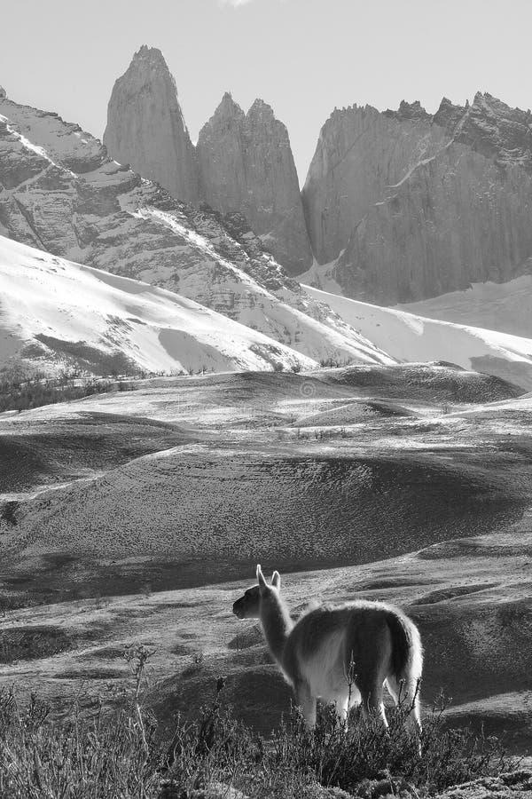 Vuxen Guanaco, Torres Del Paine National Park, Patagonia, Chile royaltyfri fotografi
