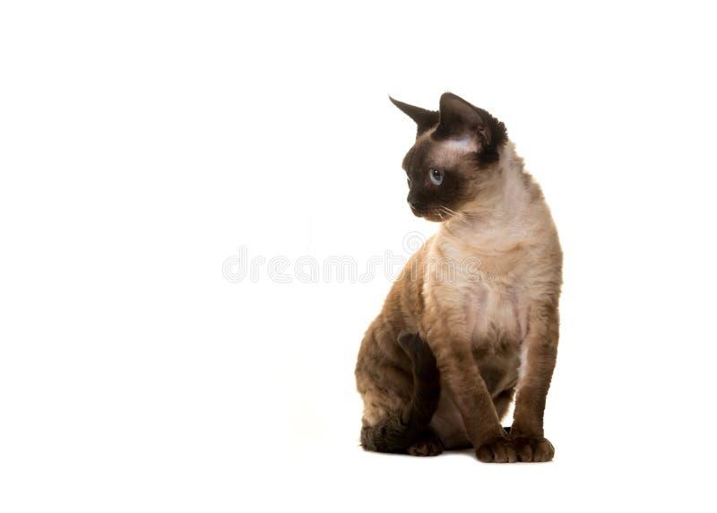 Vuxen katt för Devon rex som ser till sidan till det vänstert arkivbilder