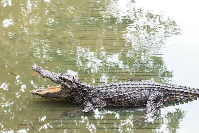 Vuxen krokodil för sötvatten från Thailand arkivfoton