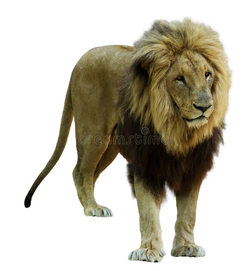 vuxen lionmanlig Isolerat på vit royaltyfria bilder