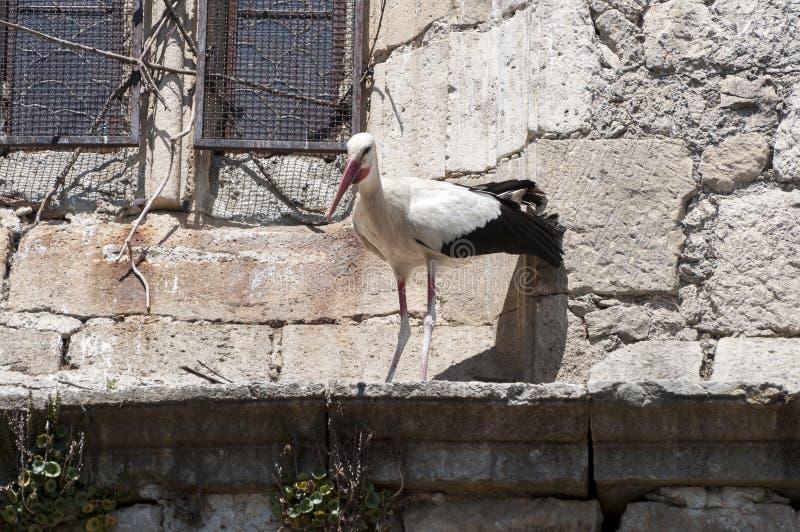 Vuxen människa av den vita storken, Ciconiaciconia royaltyfria foton