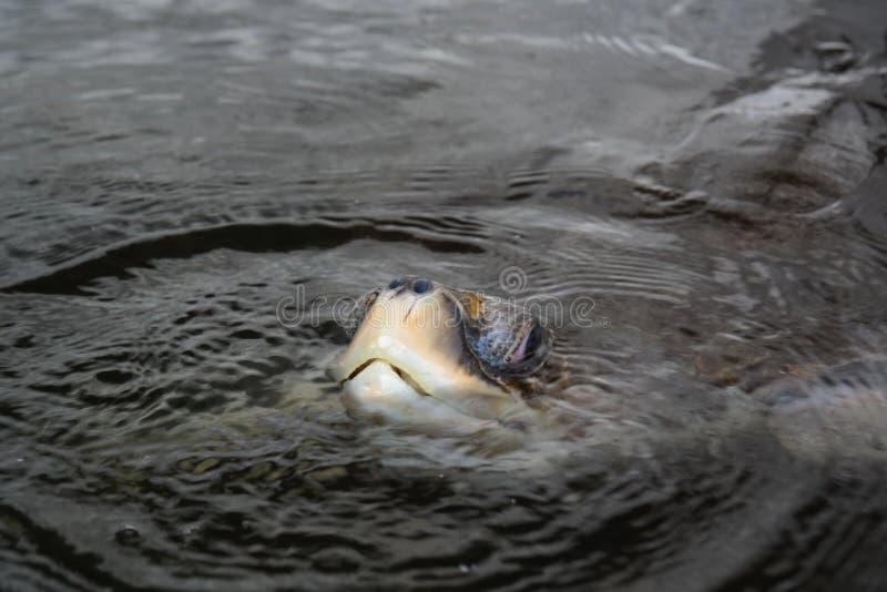Vuxen människa för havssköldpadda royaltyfria foton