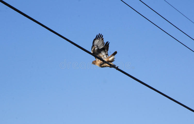 Vuxen människa Hawk Takes Flight fotografering för bildbyråer
