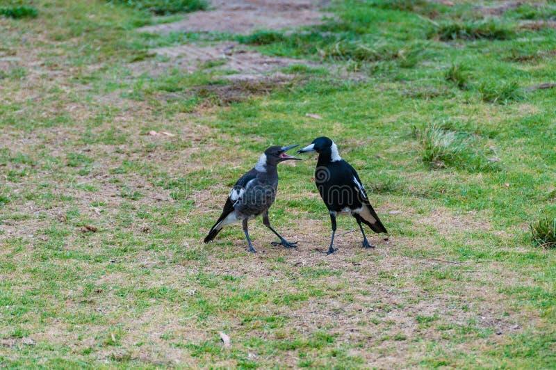 Vuxen människa och barnsliga fåglar för australisk skata royaltyfria bilder