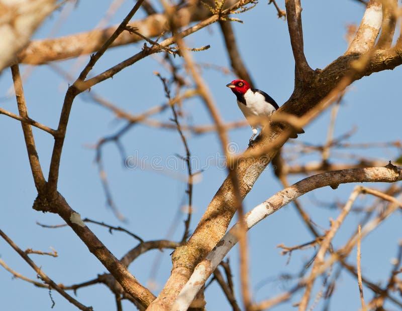 Vuxen människa Röd-capped kardinal royaltyfri bild