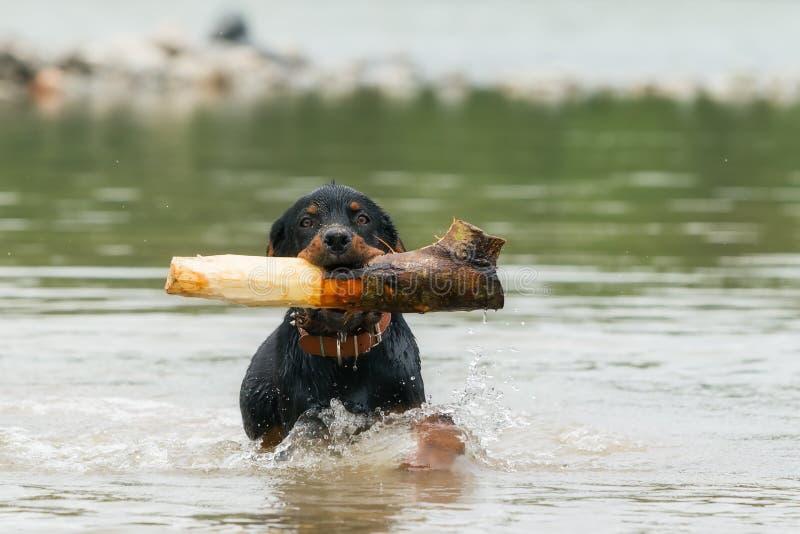 Vuxen människa Rottweiler som spelar i floden royaltyfri fotografi
