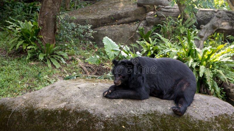 Vuxen människaFormosa en svart björn som ner ligger på, vaggar i skogen royaltyfri foto