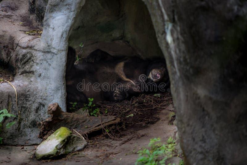 Vuxen människaFormosa en svart björn som sover i grottan arkivbild