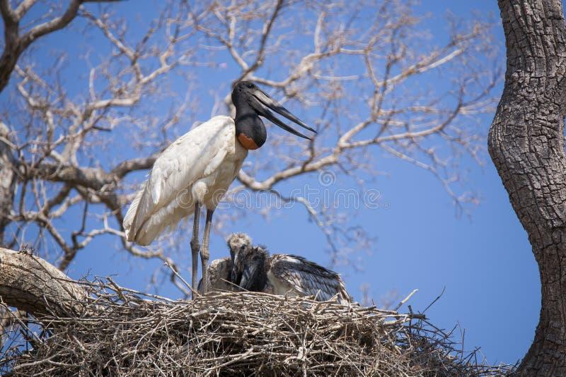 Vuxen människaJabiru stork som kallar från rede royaltyfria bilder