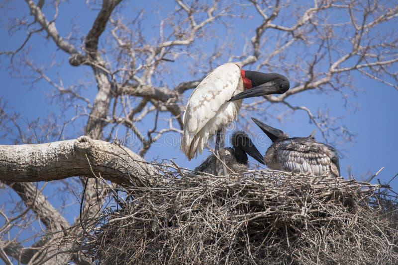 Vuxen människaJabiru stork som putsar i rede medan fågelungeklocka royaltyfria foton