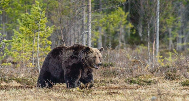 Vuxen man av brunbjörnUrsusarctos på träsket i vår royaltyfri fotografi