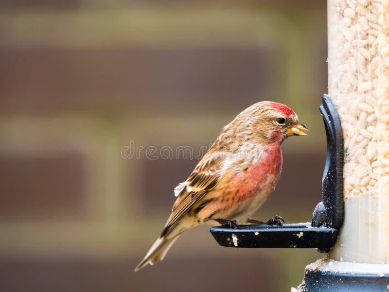 Vuxen man mindre redpoll, Acanthis kabaret som matar på fågelavgift royaltyfri foto