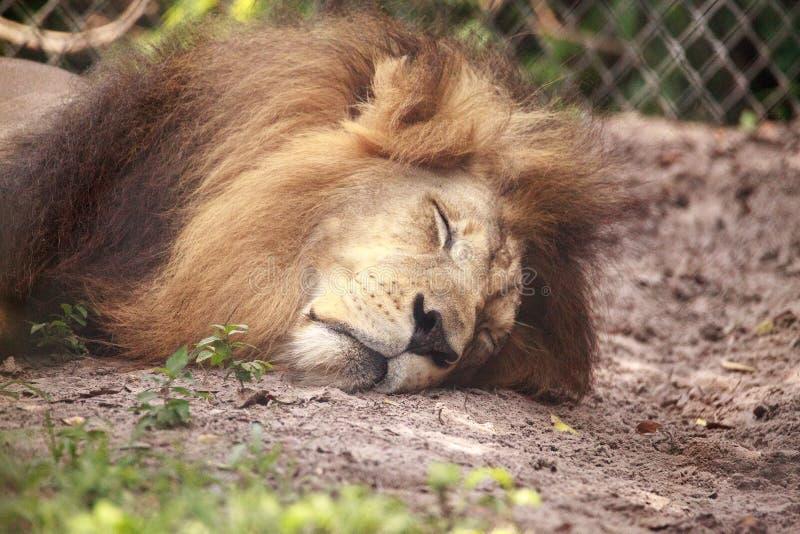 Vuxen manlig afrikansk lejonPanthera leo arkivbild