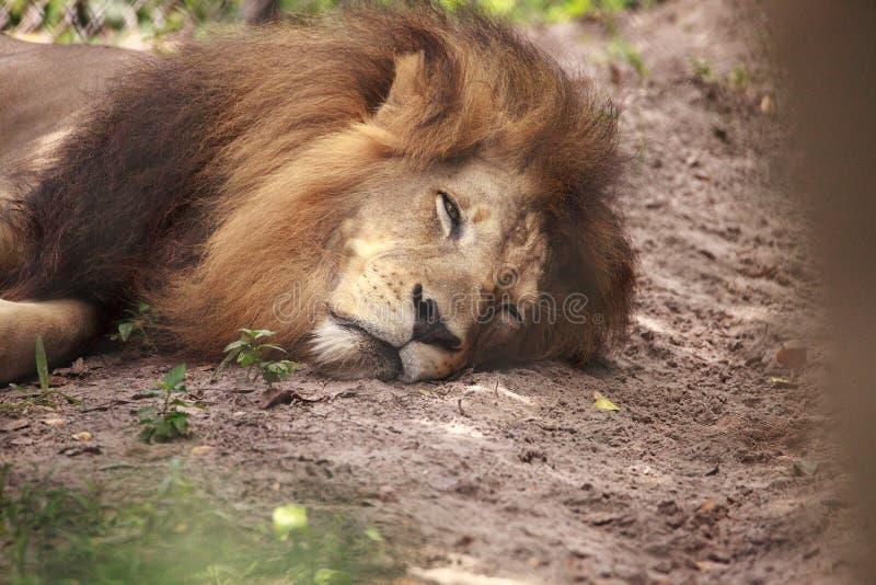 Vuxen manlig afrikansk lejonPanthera leo royaltyfria bilder