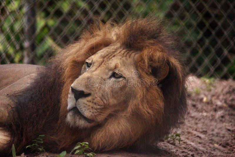 Vuxen manlig afrikansk lejonPanthera leo arkivfoto