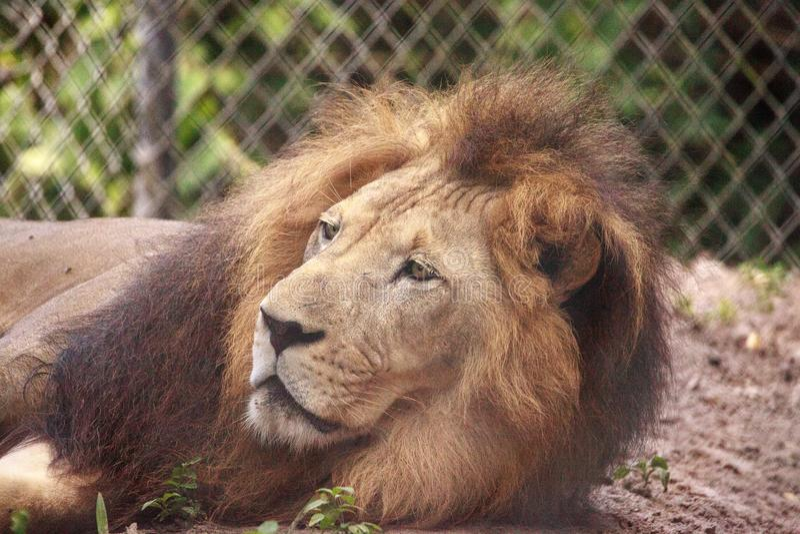 Vuxen manlig afrikansk lejonPanthera leo royaltyfri fotografi
