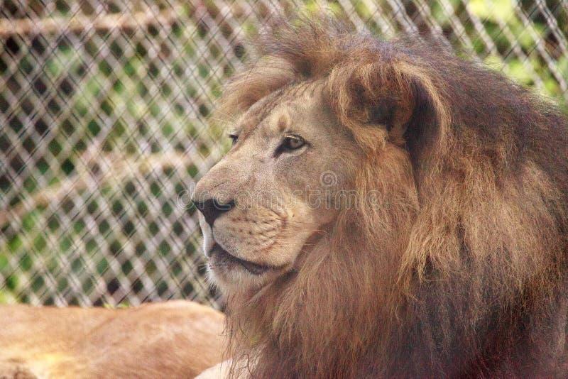 Vuxen manlig afrikansk lejonPanthera leo royaltyfria foton