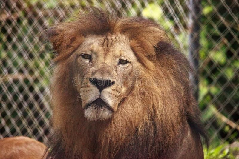 Vuxen manlig afrikansk lejonPanthera leo royaltyfri bild