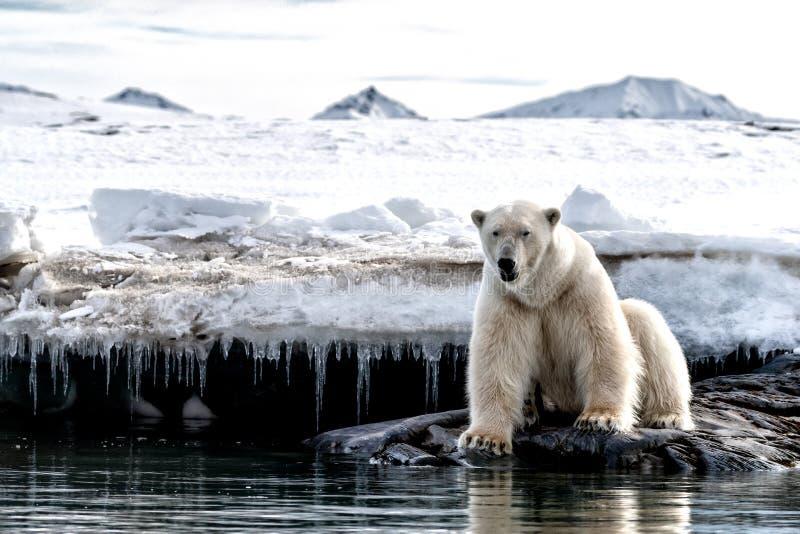 Vuxen manlig isbjörn på iskanten i Svalbard arkivfoto