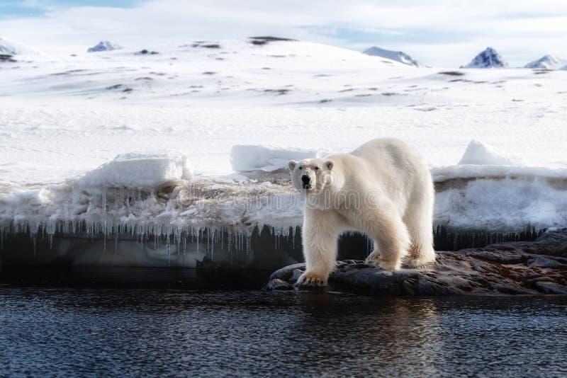Vuxen manlig isbjörn på iskanten i Svalbard arkivfoton