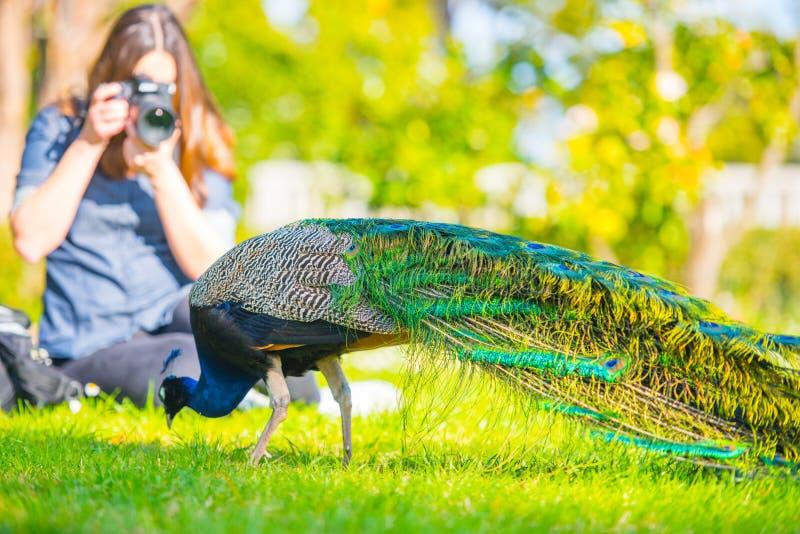 Vuxen manlig påfågel i en sommarträdgård arkivfoton