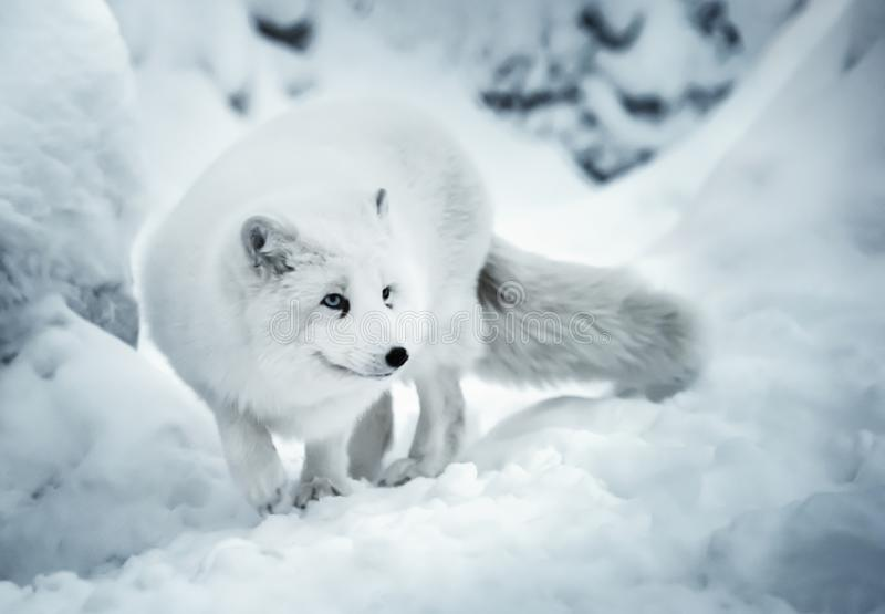 Vuxen polar räv på unfocused bakgrund för vit snö royaltyfri bild