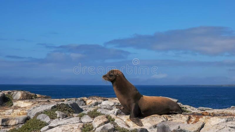 Vuxen sjölejon på södra plazas för isla i galapagosen fotografering för bildbyråer
