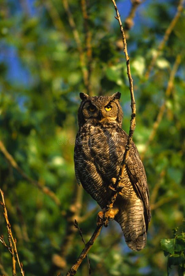 vuxen stor horned owl arkivbild