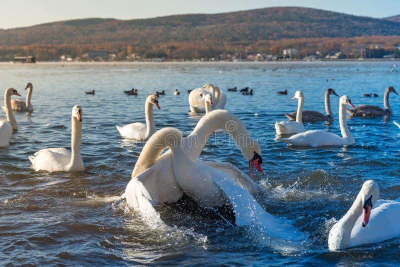 Vuxen stridighet för stum svan två för förälskelse som jagar sig i vattnet arkivbild