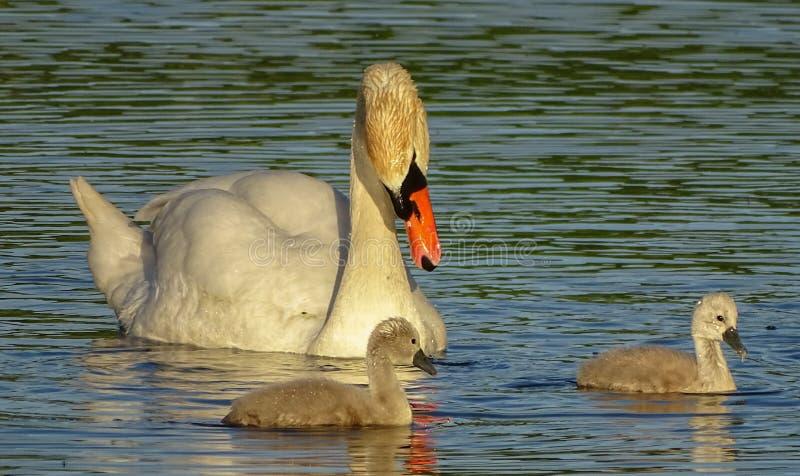 Vuxen svan med fågelungar royaltyfria bilder
