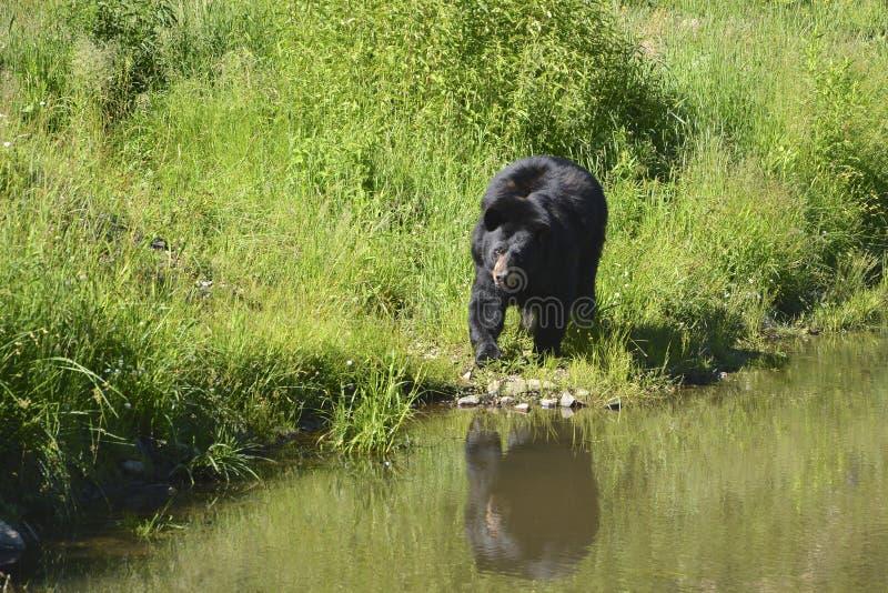 Vuxen svart björn royaltyfria foton