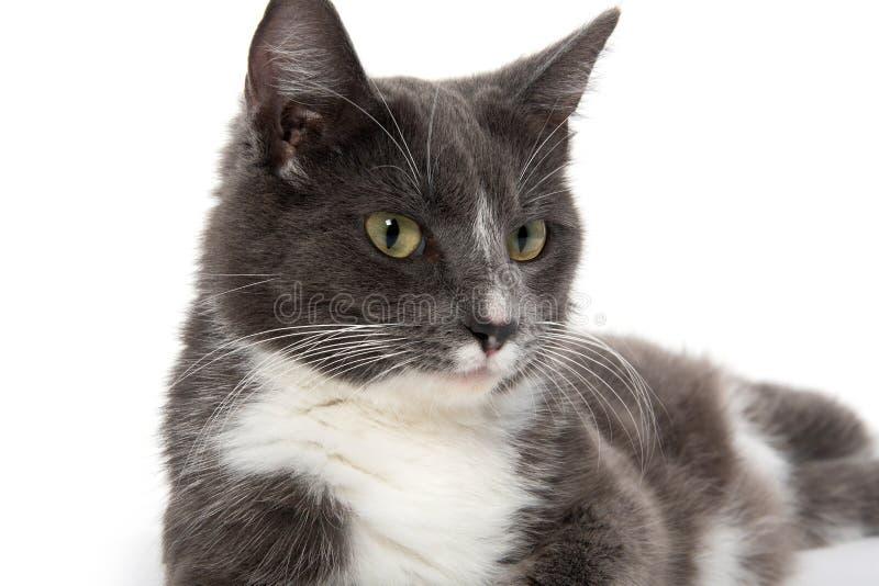 Vuxen vit och grå katt arkivfoton