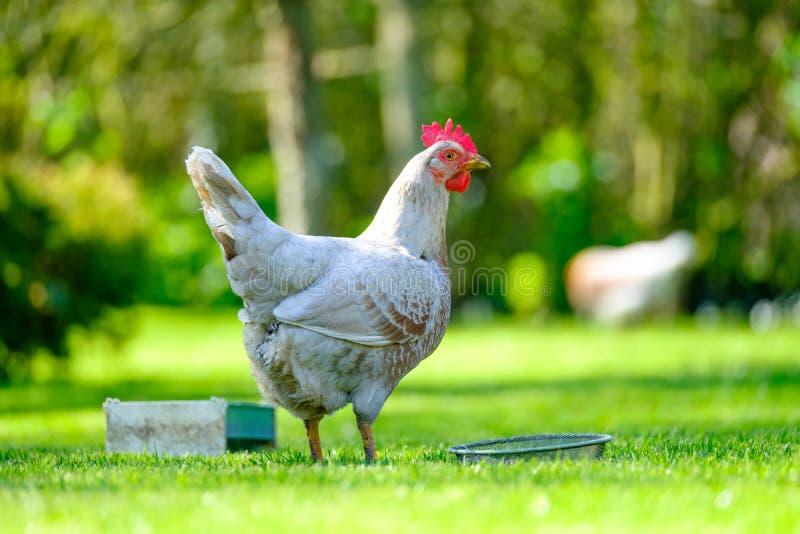 Vuxet äggvärphöns som ser vid hennes matho i en trädgård royaltyfria foton