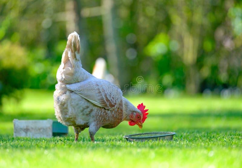Vuxet äggvärphöns som ser vid hennes matho i en trädgård arkivfoto