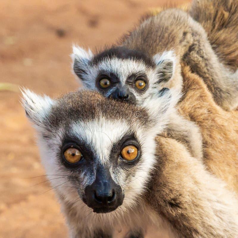 Vuxet och spädbarn Ring Tailed Lemur fotografering för bildbyråer