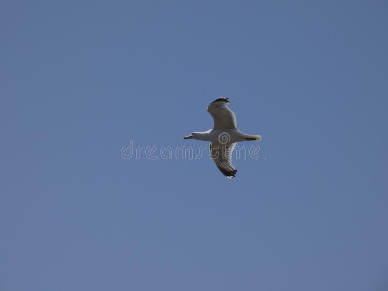 Vuxet seagullflyg med bakgrund för blå himmel royaltyfria bilder