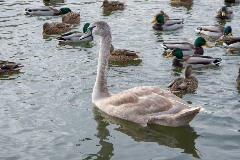 Vuxna babyn Swan, grå kycklingsimmar i dammen på vintern, fåglarna har inte flugit till vintern, i närheten royaltyfria bilder