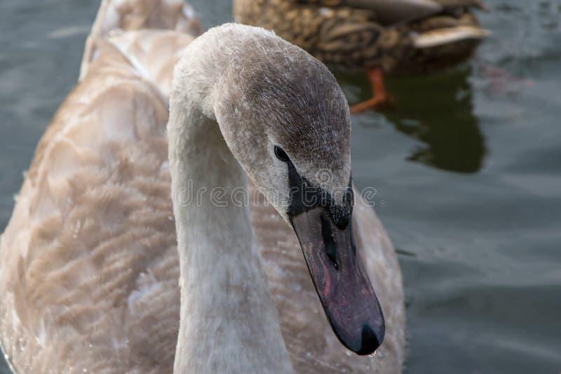 Vuxna babyn Swan, grå kycklingsimmar i dammen på vintern, fåglarna har inte flugit till vintern, i närheten royaltyfria foton