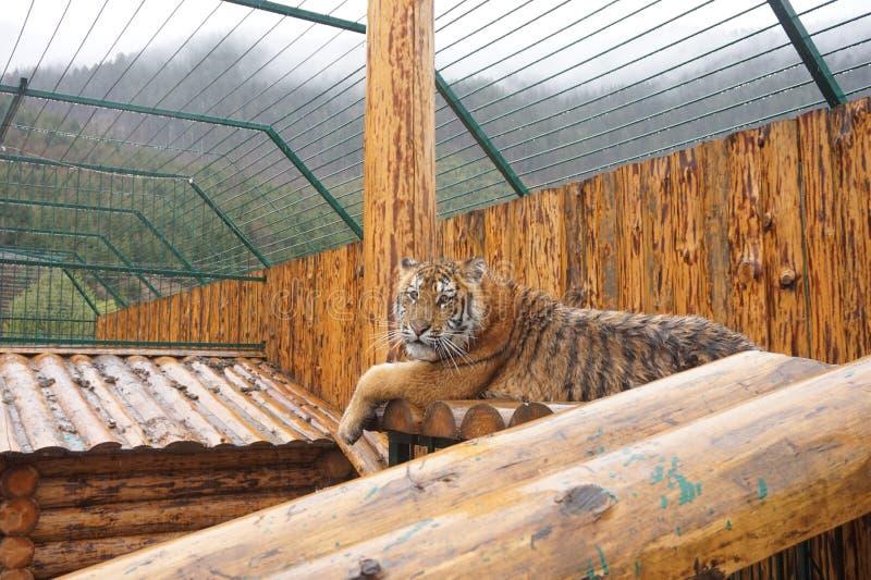 Vuxna h?rliga unga tigerl?gner royaltyfri bild