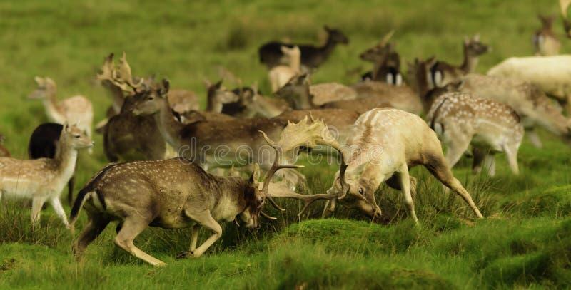 Vuxna hjortar - brunstiga fullvuxna hankronhjortar att imponera kvinnlina fotografering för bildbyråer