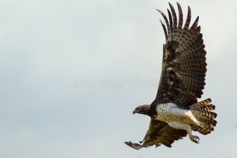 Vuxna krigs- Eagle Flying royaltyfri fotografi