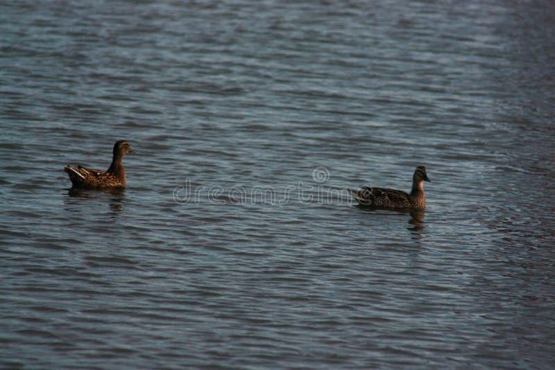 Vuxna människan duckar på vattnet royaltyfri bild