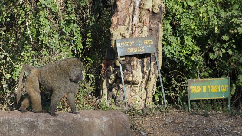 Vuxna människan och behandla som ett barn babianen på ingången till Ngorongoro naturvårdsområde arkivfoto
