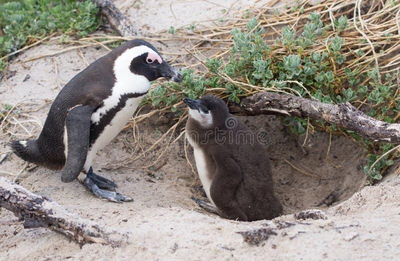Vuxna människan och behandla som ett barn den afrikanska pingvinet arkivbilder