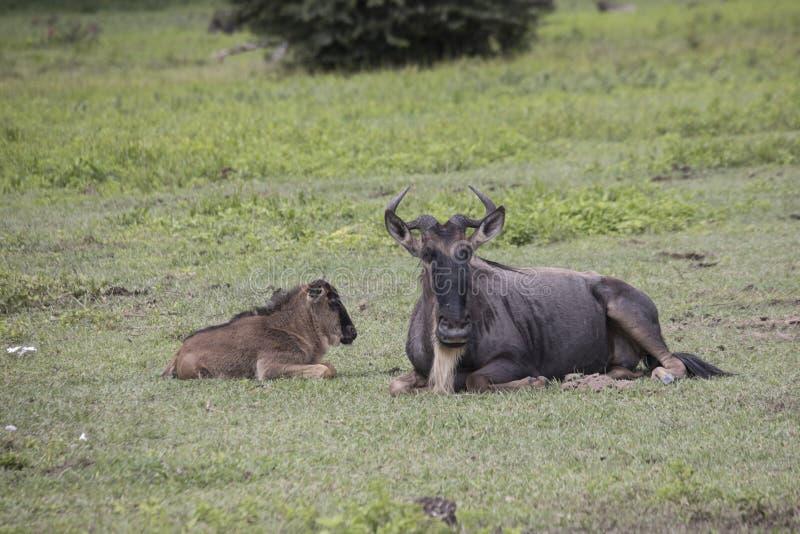 Vuxna människan och behandla som ett barn gnu, den Ngorongoro krater, Tanzania arkivbild