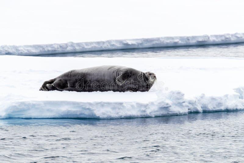 Vuxna människan uppsökte skyddsremsan vilar på en isisflak i Svalbard fotografering för bildbyråer