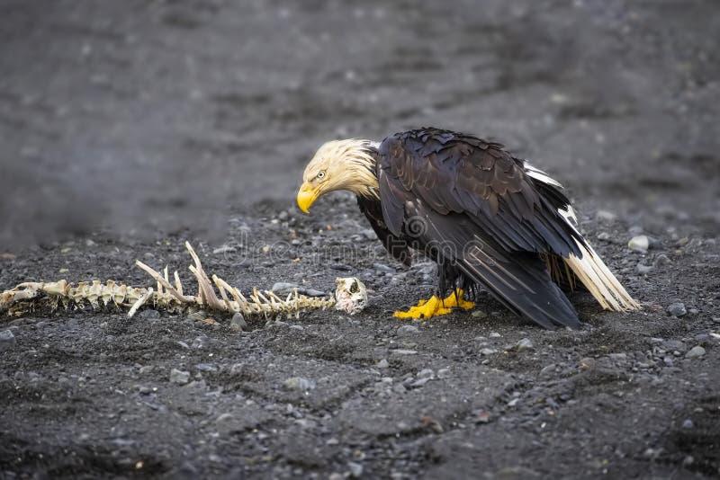 Vuxna skalliga Eagle med skelettet av en havsutter royaltyfri bild