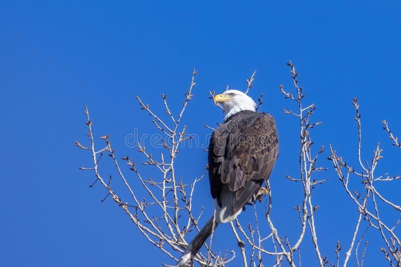 Vuxna skalliga Eagle sätta sig överst av ett träd fotografering för bildbyråer