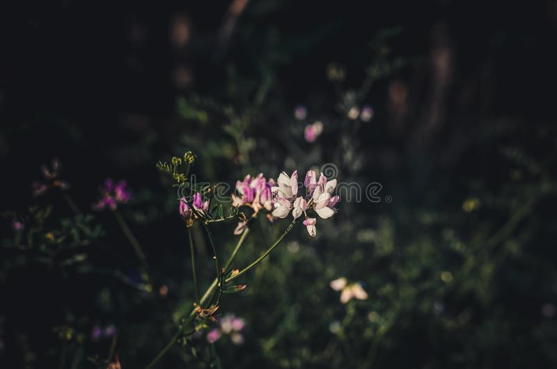 Vyazel Coronilla pstrobarwny varia łapie pierwszy słońce promienie Początek nowy letni dzień w lasowej haliźnie Zmroku zamazany b fotografia royalty free