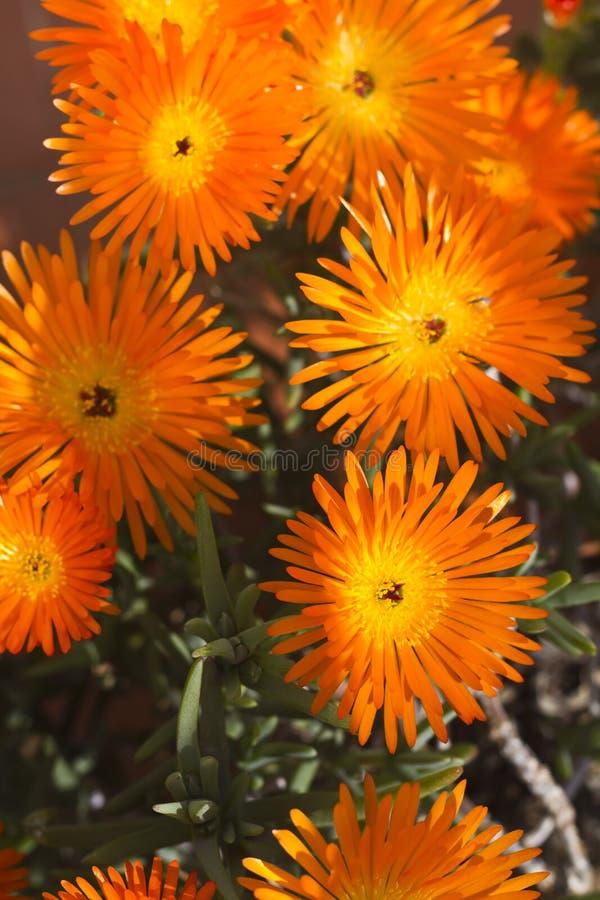 vygie νοτιοαφρικανικό succulent λουλούδι στοκ εικόνα